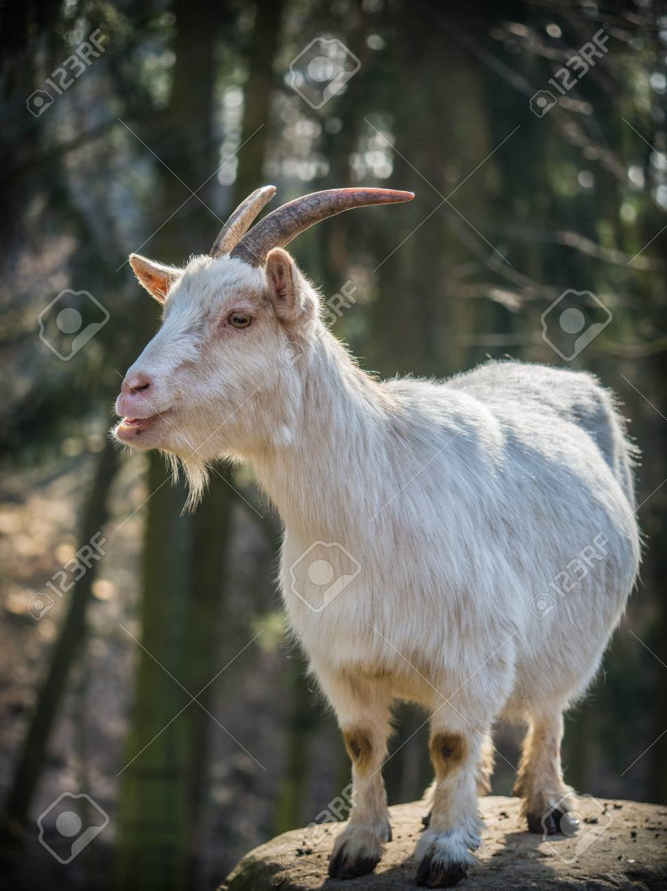 Cute White Male Goat Standing On A Rock On A Sunny Spring Day ...