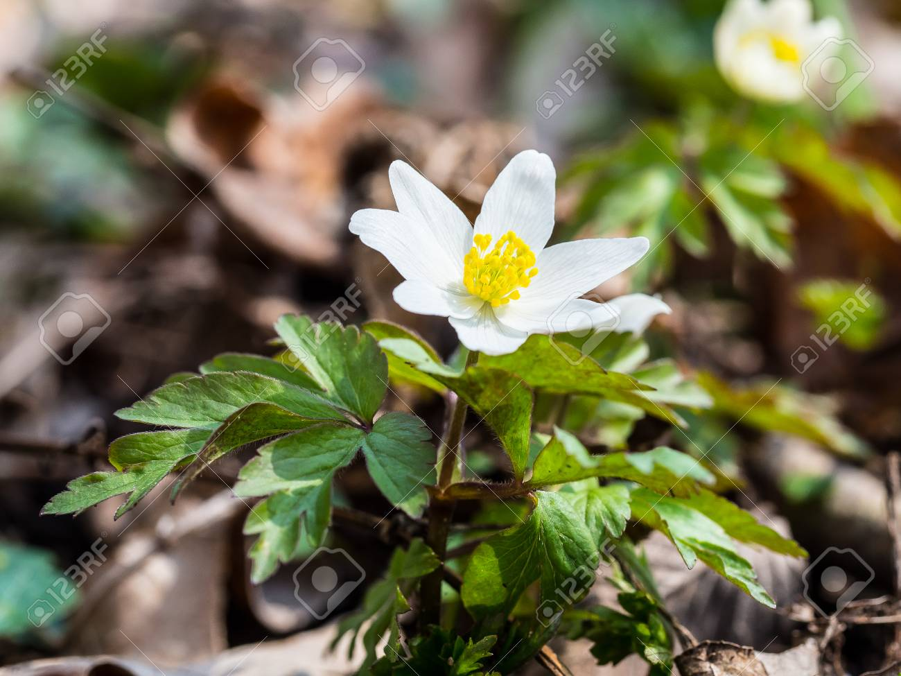 Anemone Nemorosa Is An Early Spring Flowering Plant In The Buttercup