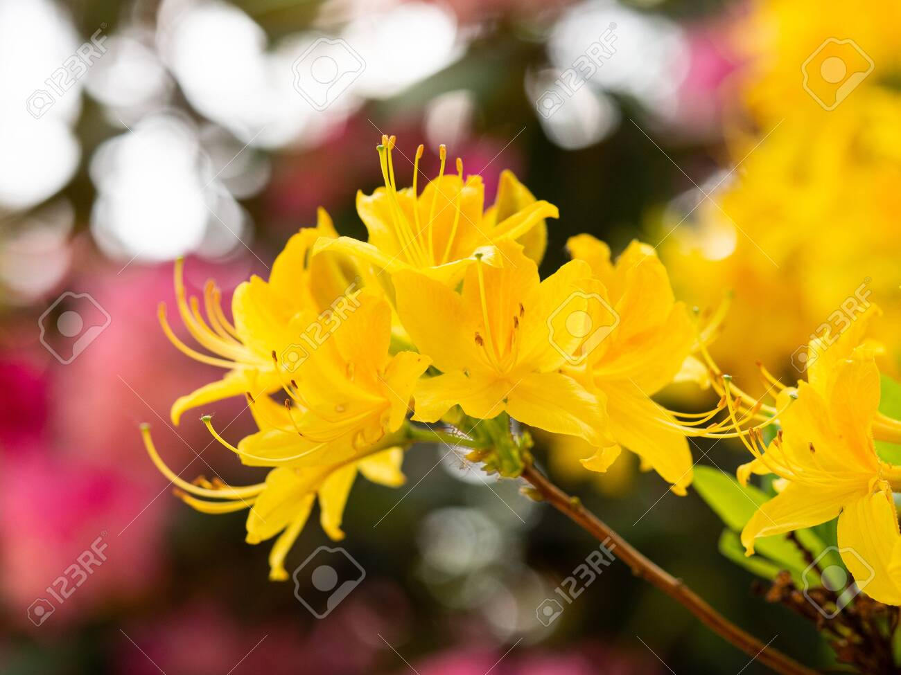Yellow Flowers Of Rhododendron Bush Azalea Blooming In Spring