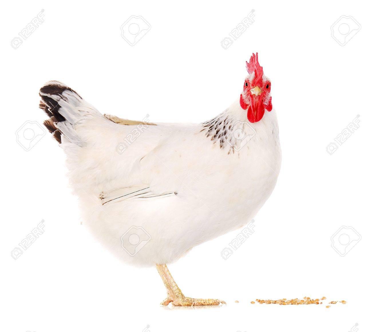 white hen eating wheat grains White Hen