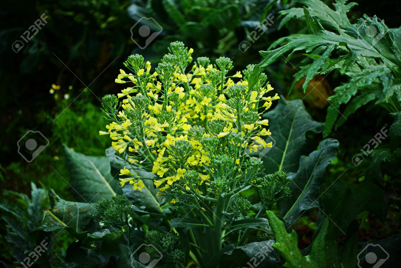 Broccoli flowers stock photo picture and royalty free image image broccoli flowers stock photo 73529191 mightylinksfo