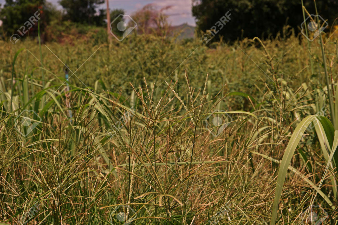 spiny amaranth or spiny pigweed broad leaf weed in agriculture filed stock photo 78507588