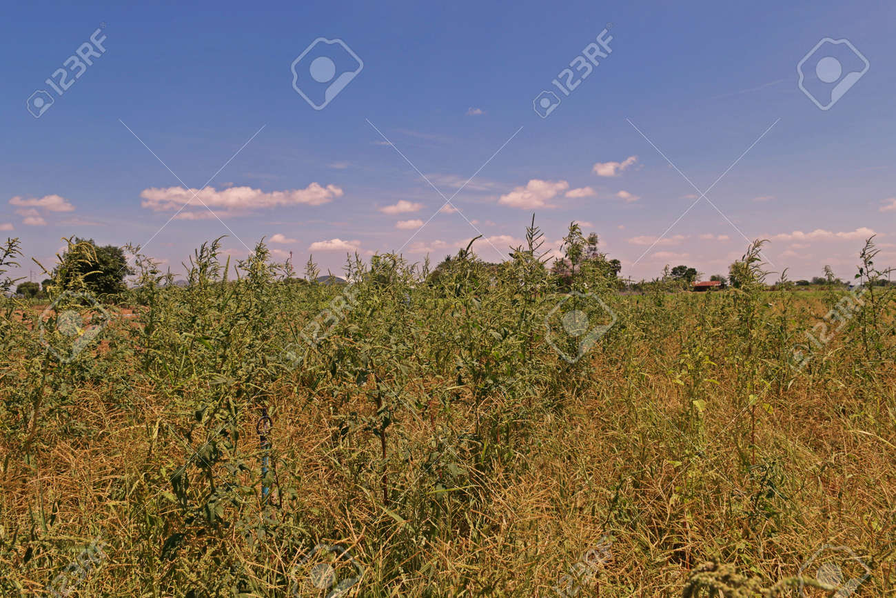 spiny amaranth or spiny pigweedbroadleaves weed in agriculture field stock photo 77750224