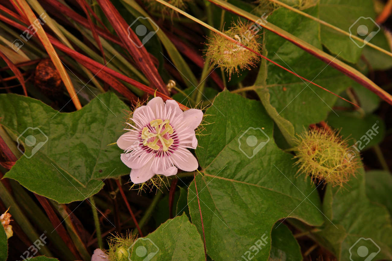 Felifere Fetide Fleur De Vigne Et Herbe Medicinale Banque D Images