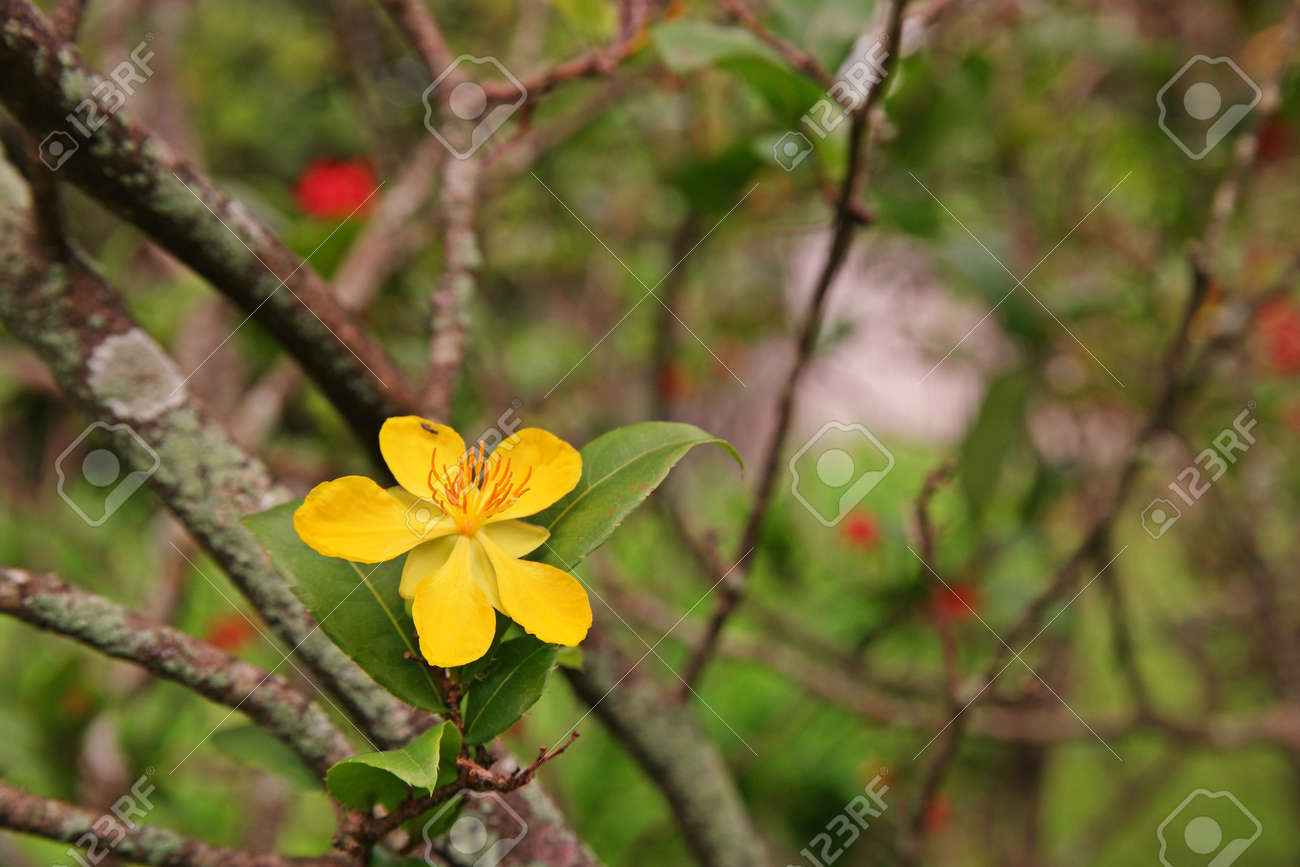 Micky Maus Pflanzen, Immergrüne Blumen Pflanze Mit Bunten Blumen ...