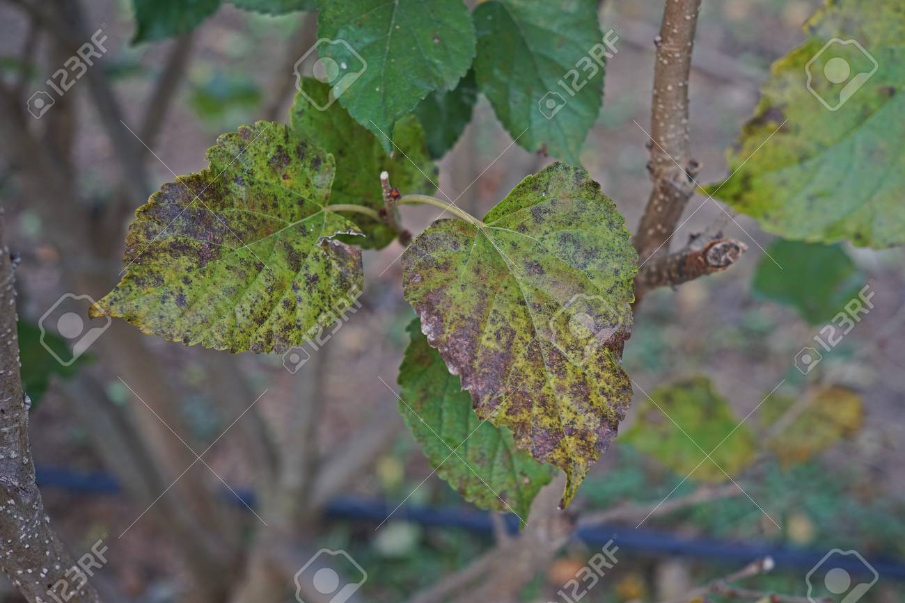 Mulberry Leaves Disease Fro Fungi Stock Photo Picture And Royalty