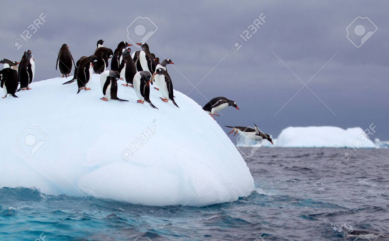Gentoo penguin jumping into water from iceberg - 23982187