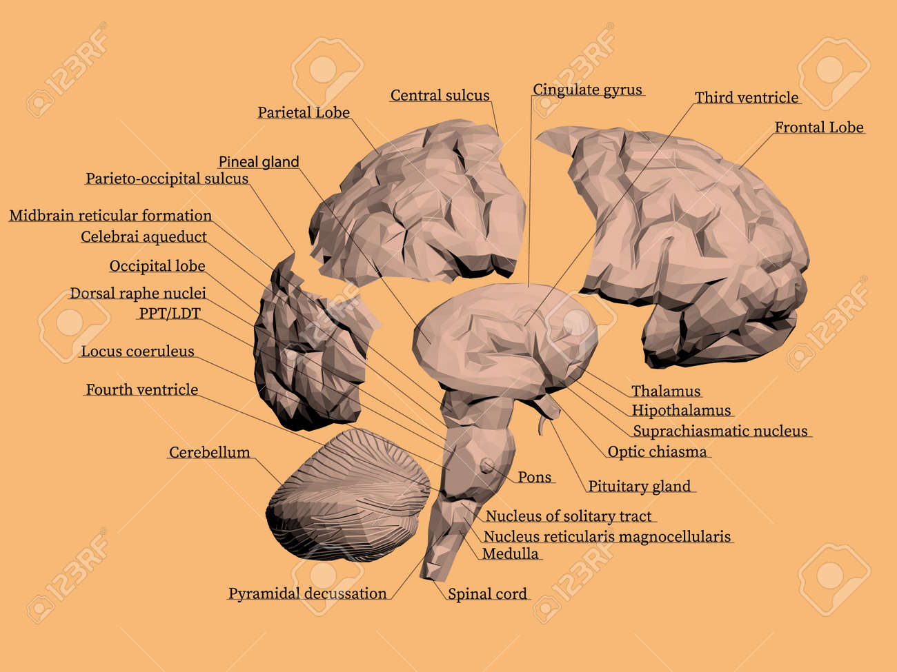 Structure Of The Human Brain The Brain Is Divided Into Parts Each