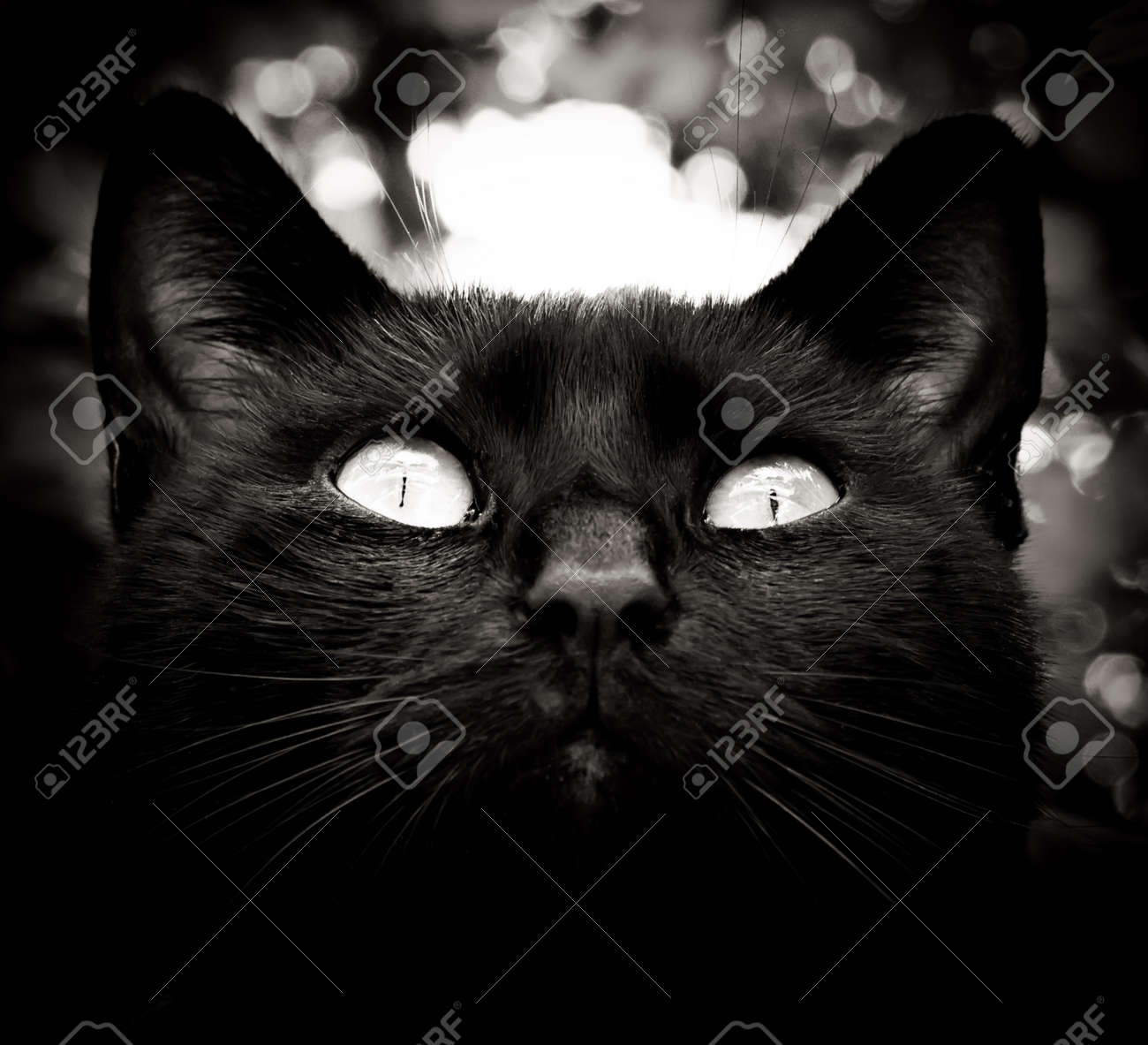 High contrast black and white cat portrait stock photo 15260049