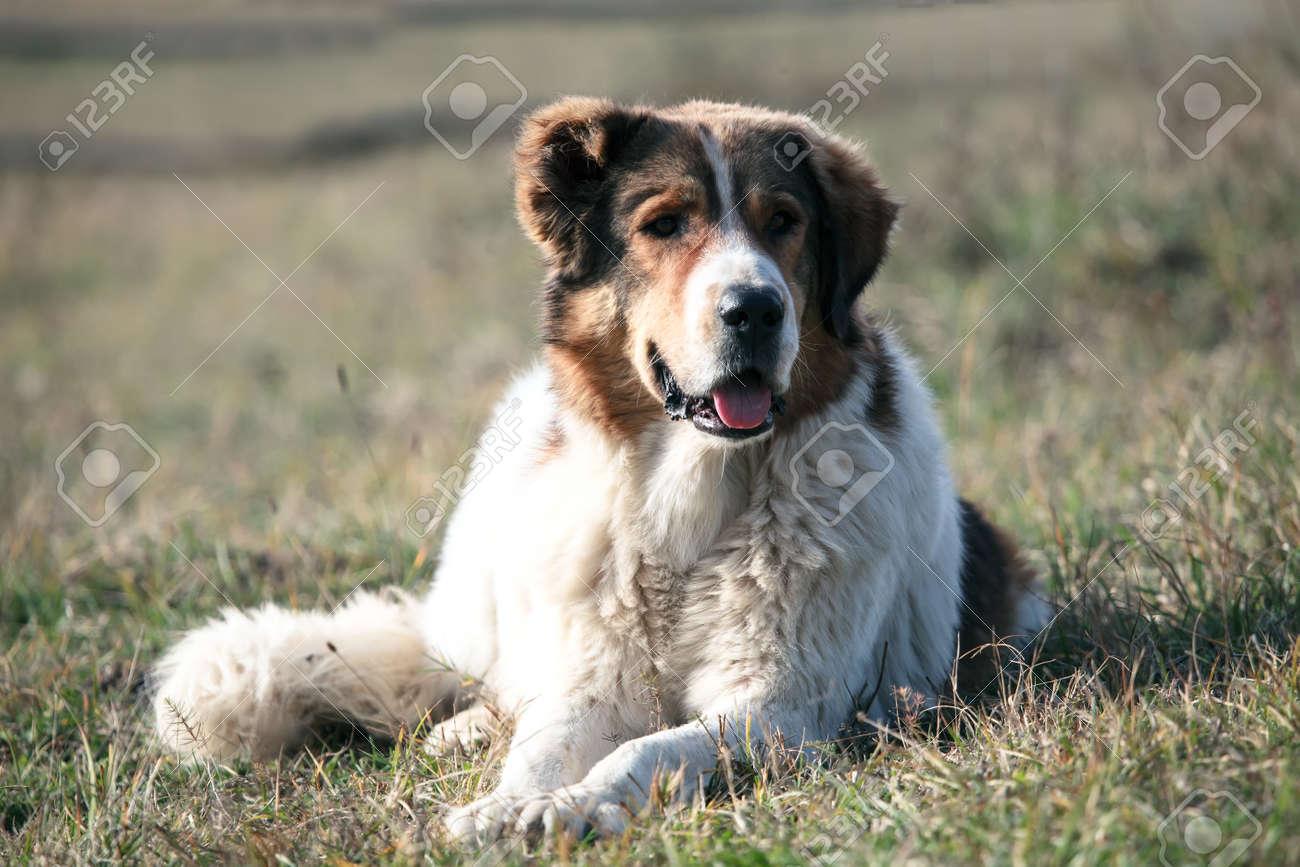 bulgarischer schäferhund