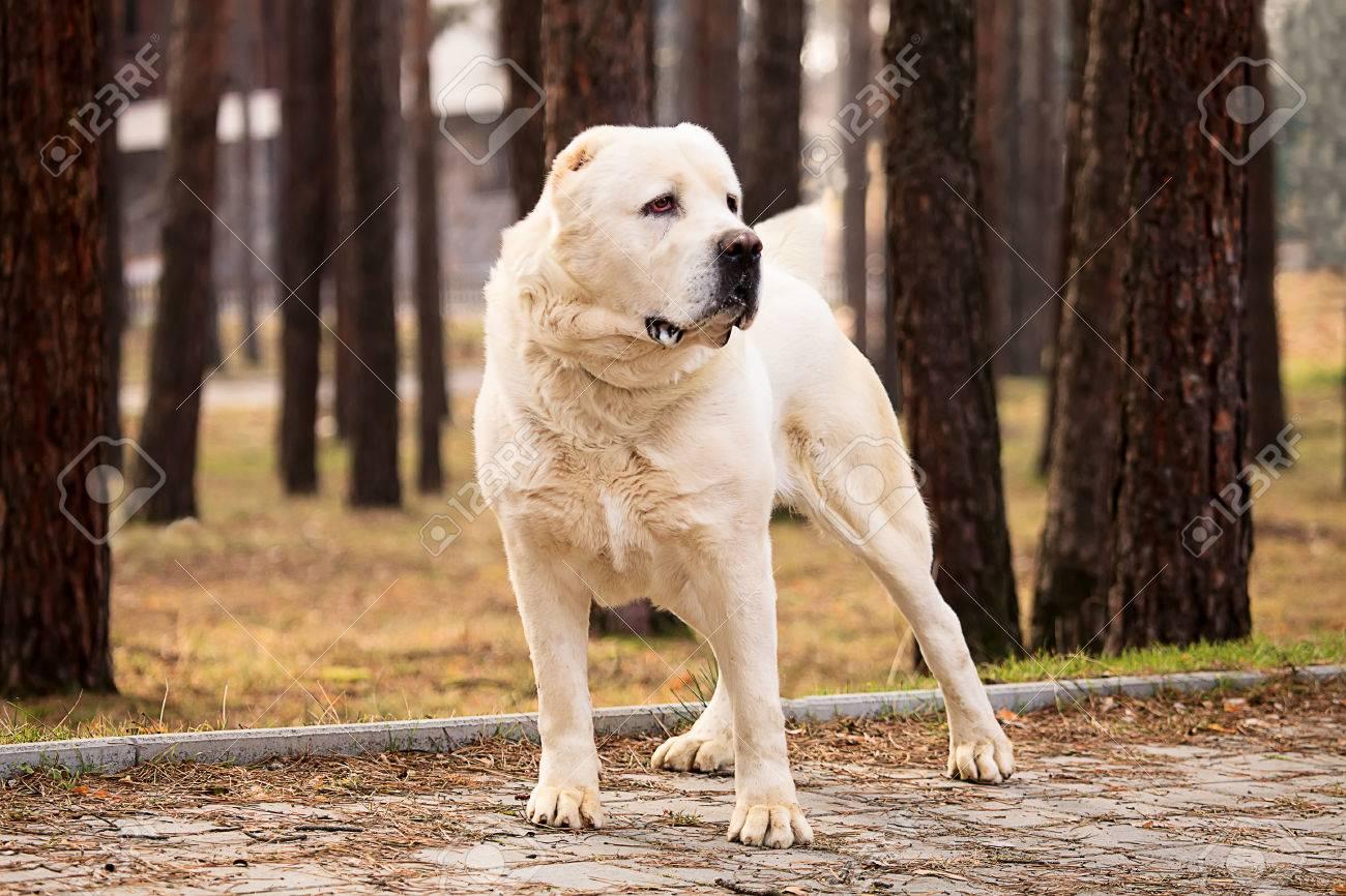 Alabai big alabai dog in autumn park stock photo, picture and royalty free