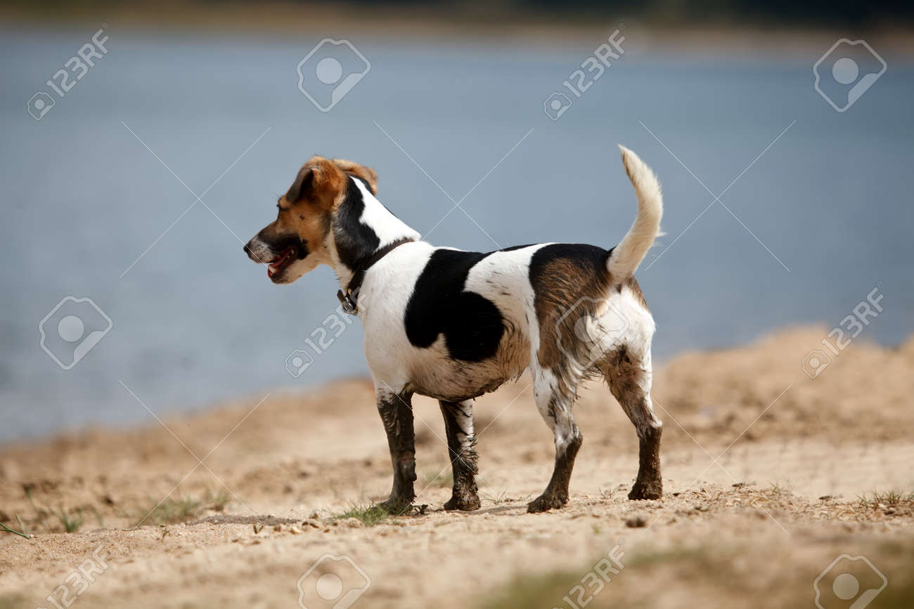 Wonderful Small Leg Beagle Adorable Dog - 62889385-dirty-cute-small-jack-russell-near-lake-in-nature-dog-legs-covered-with-mud  HD_656012  .jpg