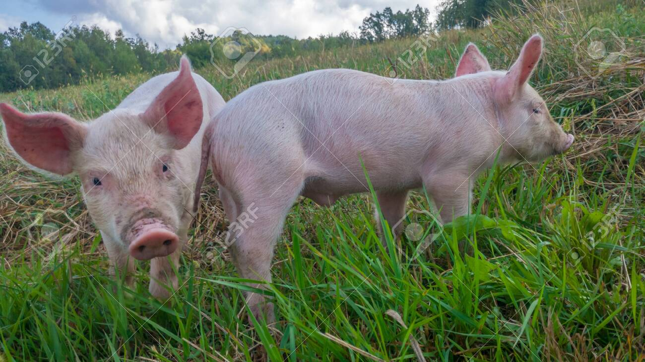 Two newborn piglets in the meadow. Organic piggies on the organic rural farm. Squeakers in the pasture. - 155337125