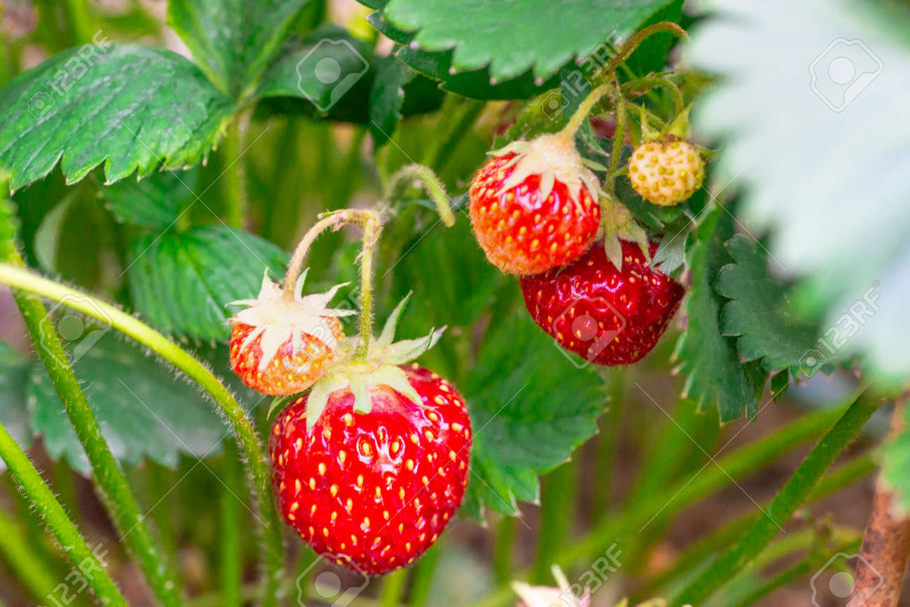 Harvesting of fresh ripe big red strawberry fruit in greenhouse - 149665830
