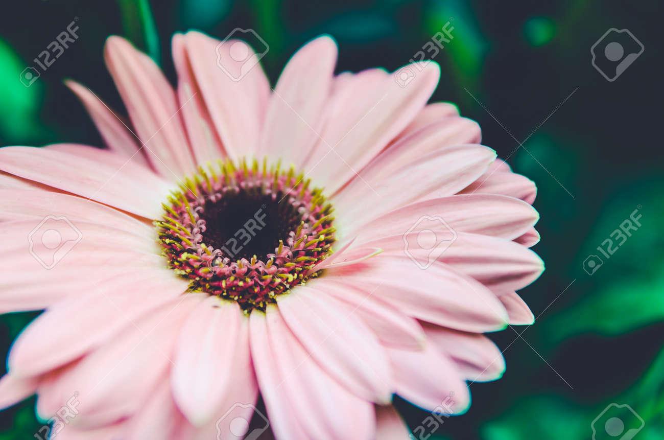 flor hermosa del gerbera en la decoración de la boda del jardín