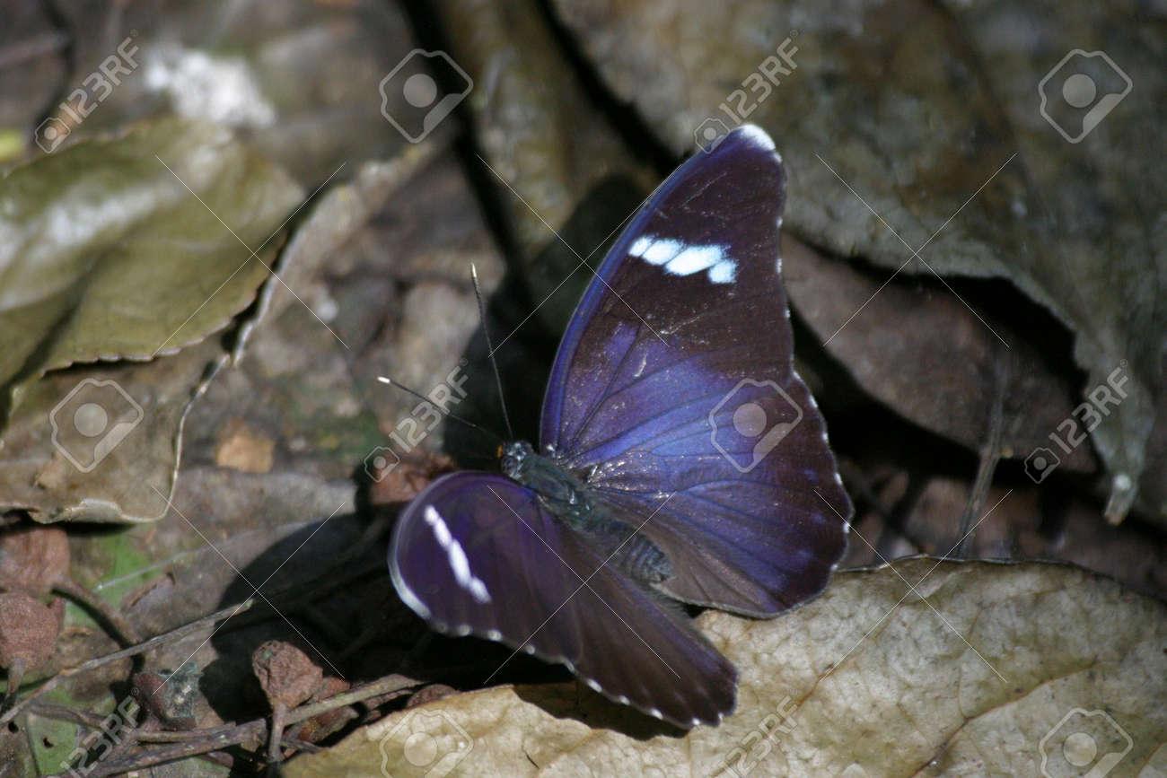 Bộ sưu tập cánh vẩy 5 - Page 14 266476-blue-butterfly-euphaedra-rex