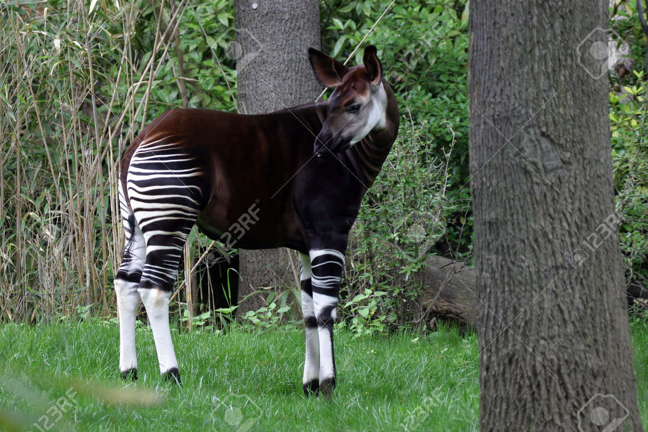 Okapi Forest Giraffe Stock Photo Picture And Royalty Free Image