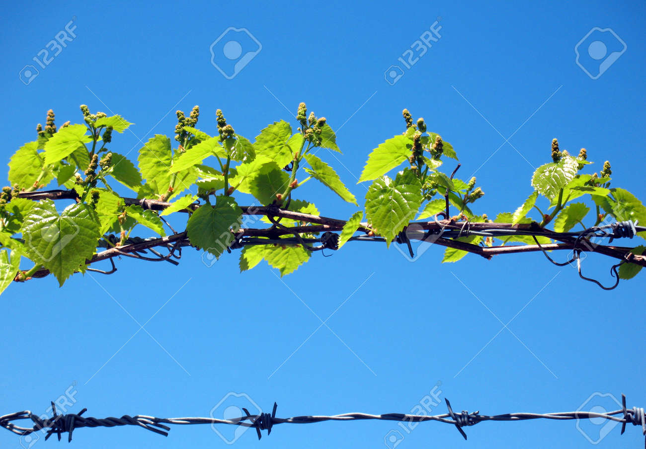 Barbed wire Stock Photo - 8458292