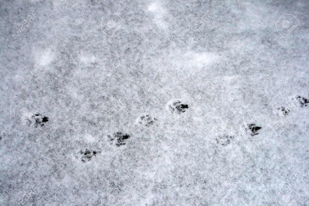 Dog tracks on snow stock photo picture and royalty free image dog tracks on snow stock photo 9478677 publicscrutiny Choice Image