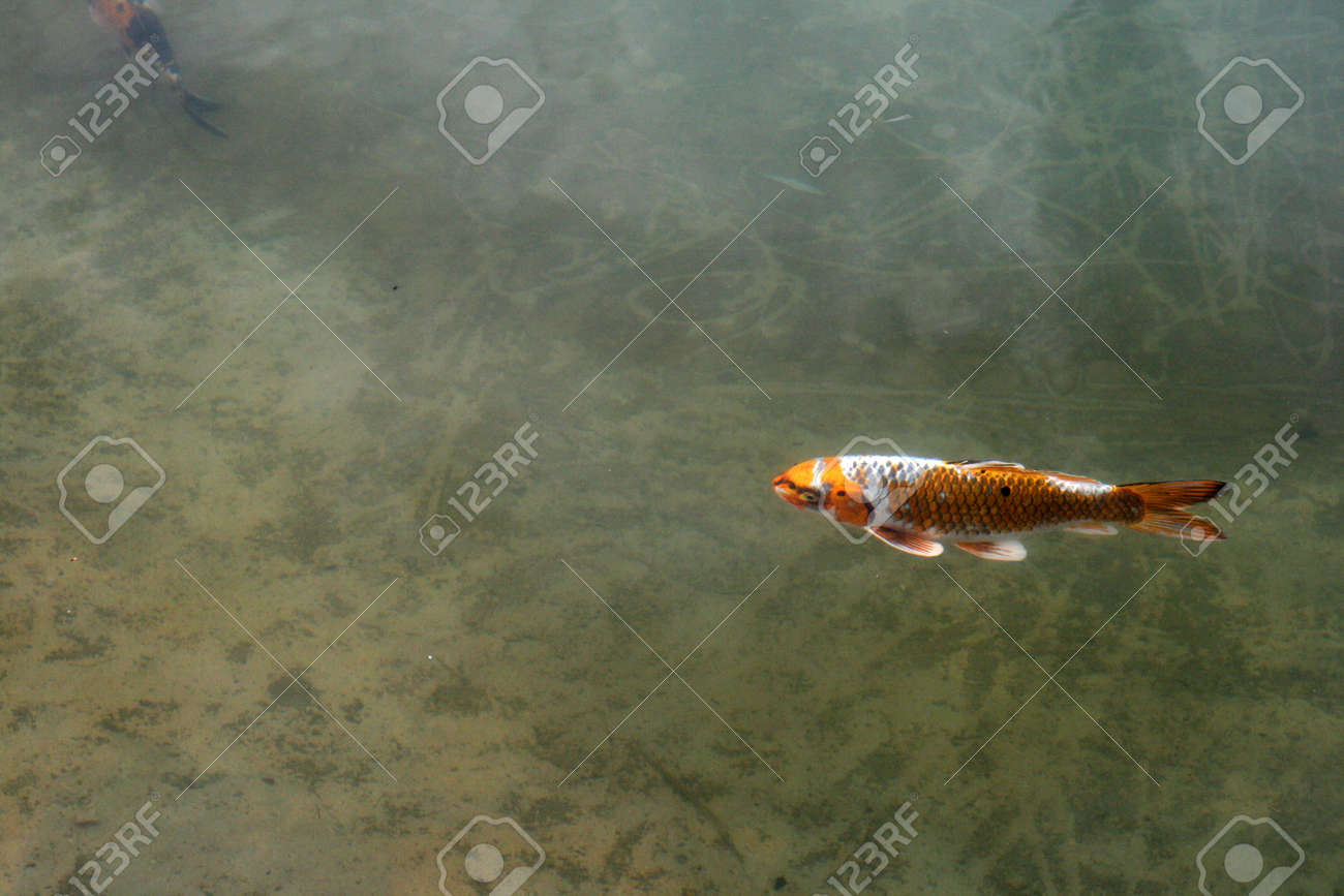 Decorative carp or koi in a pond Stock Photo - 10941343
