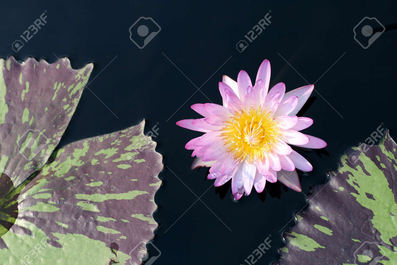 Water lily in a pond Stock Photo - 13264723