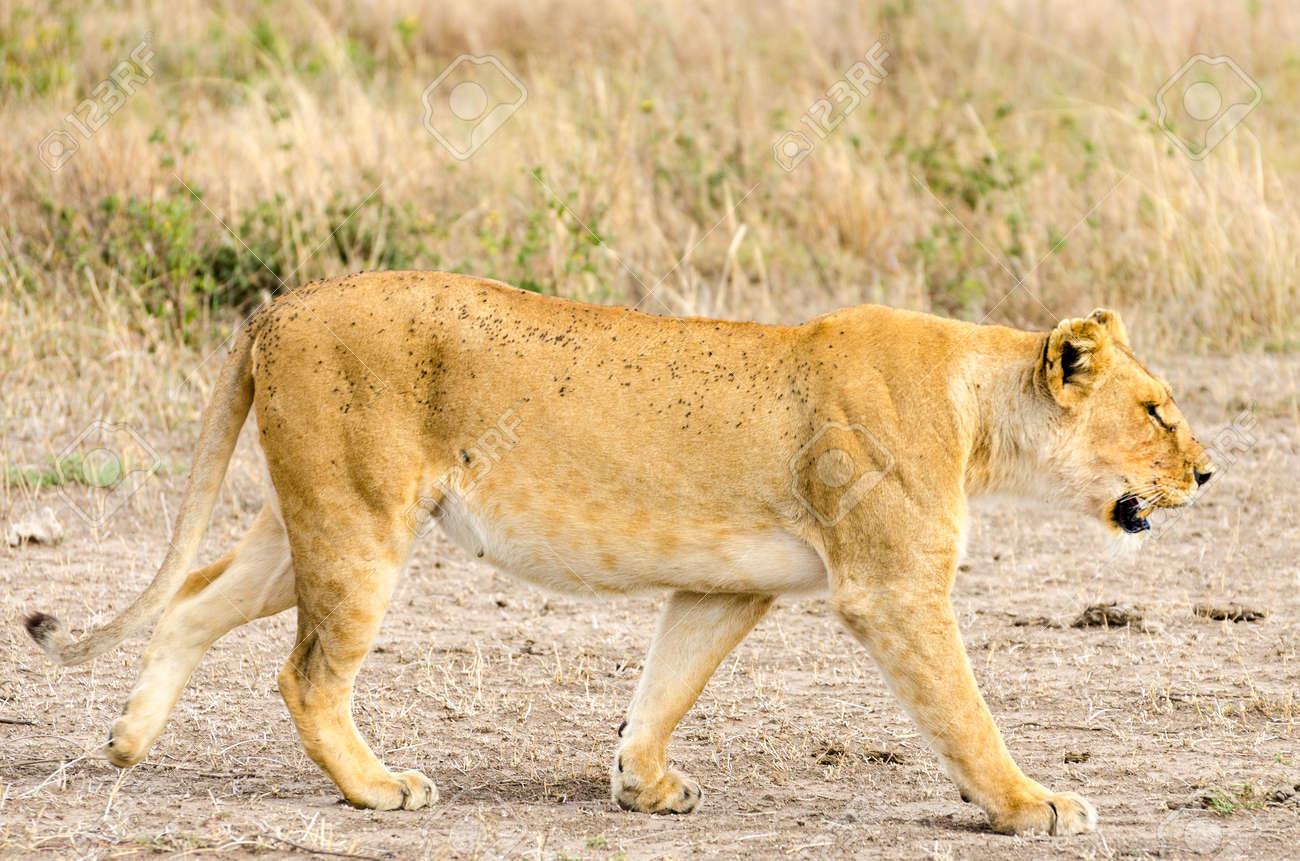 A lion hunting buffalo in Serengeti National Park