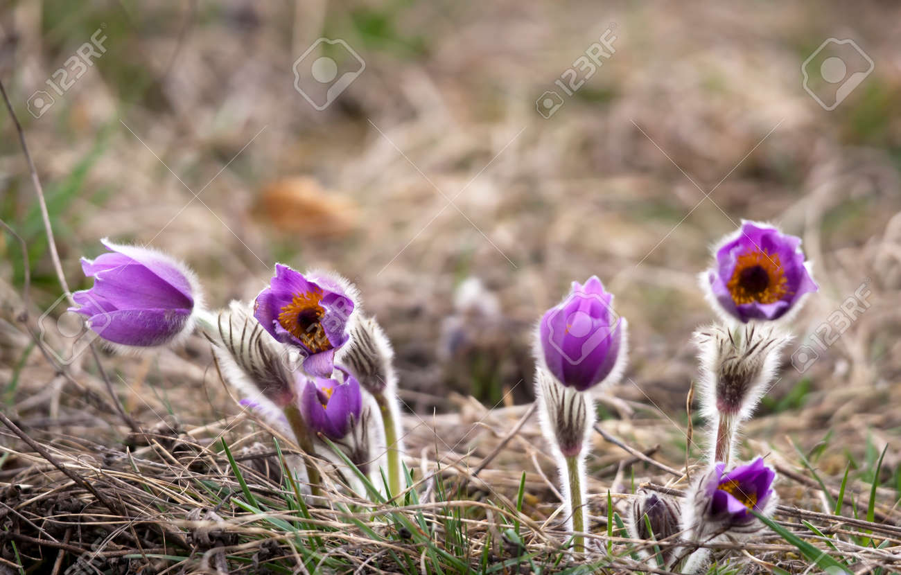 Group of purple pasque flowers on meadow Stock Photo - 25997716