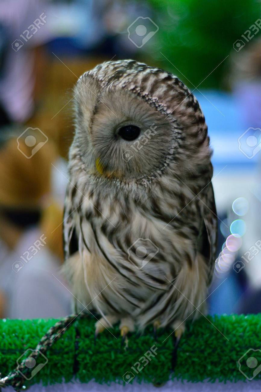 Image of: Nocturnal Creatures Owls Are Nocturnal Animals Stock Photo 33880498 123rfcom Owls Are Nocturnal Animals Stock Photo Picture And Royalty Free