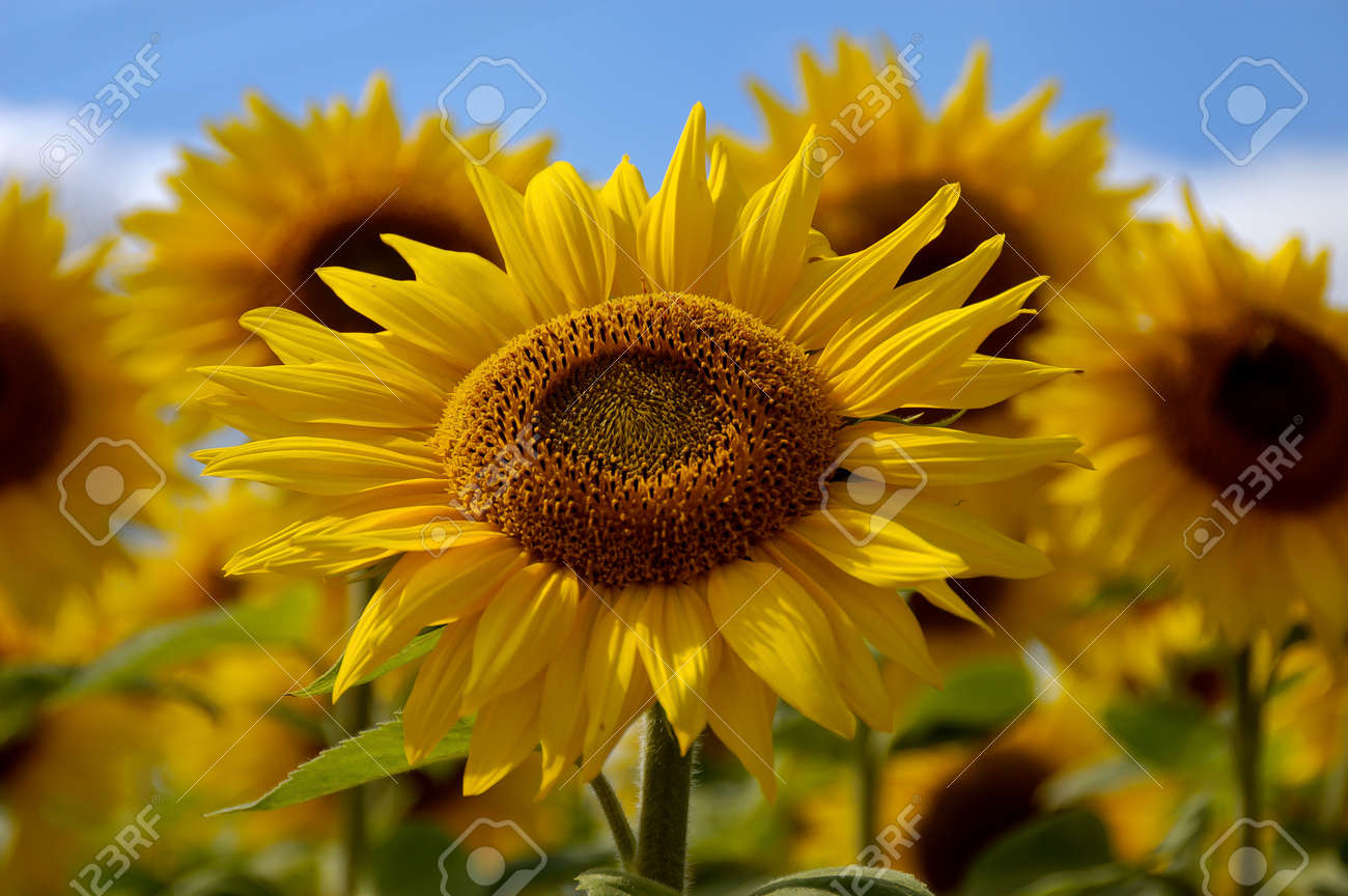 Giant Sunflowers against blue sky Stock Photo - 17486148