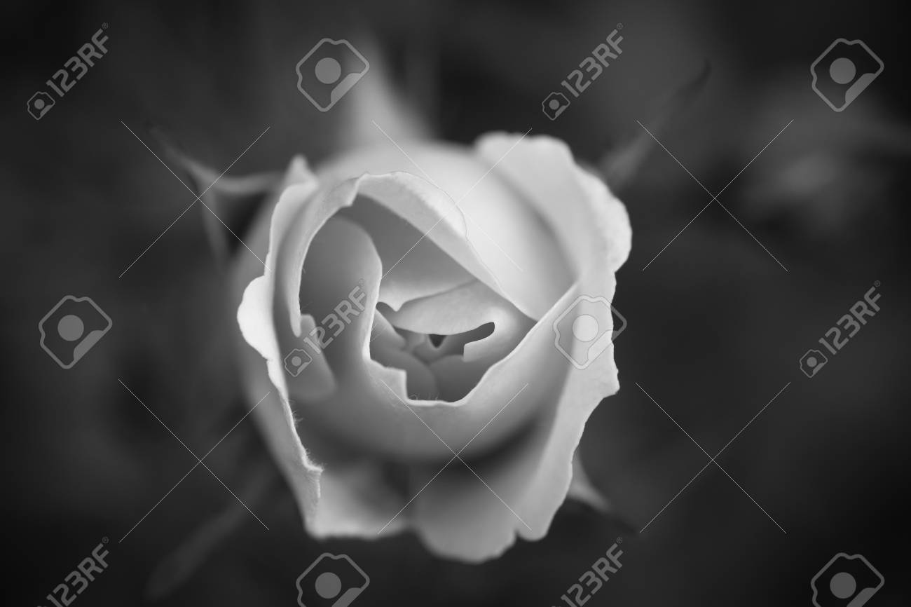 Single white rose in black and white Stock Photo - 17486174