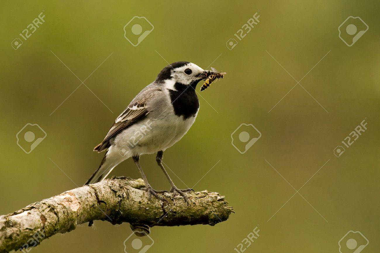 Bird with catch of insect Stock Photo - 13618318