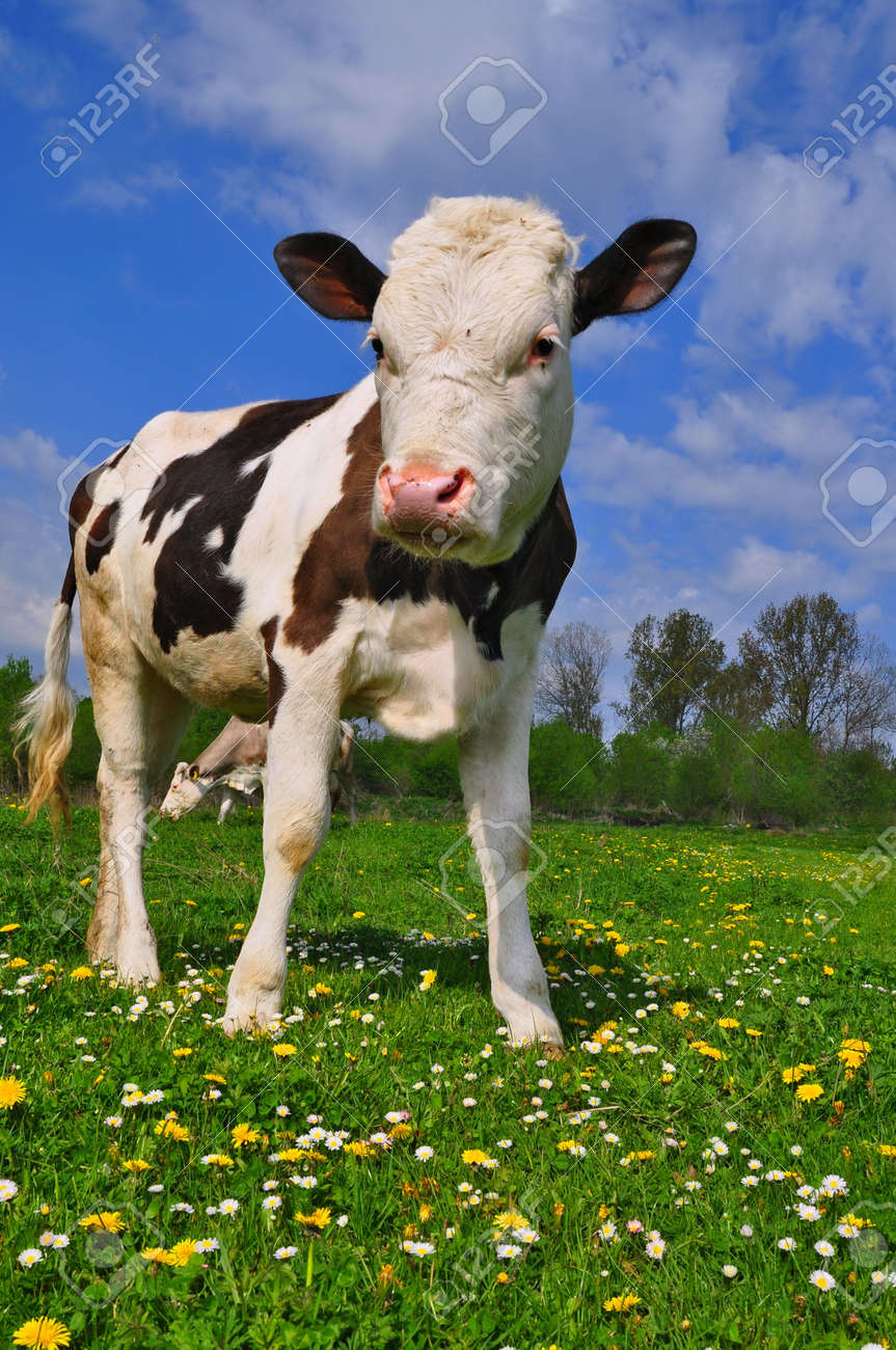 The calf on a summer pasture Stock Photo - 9663989