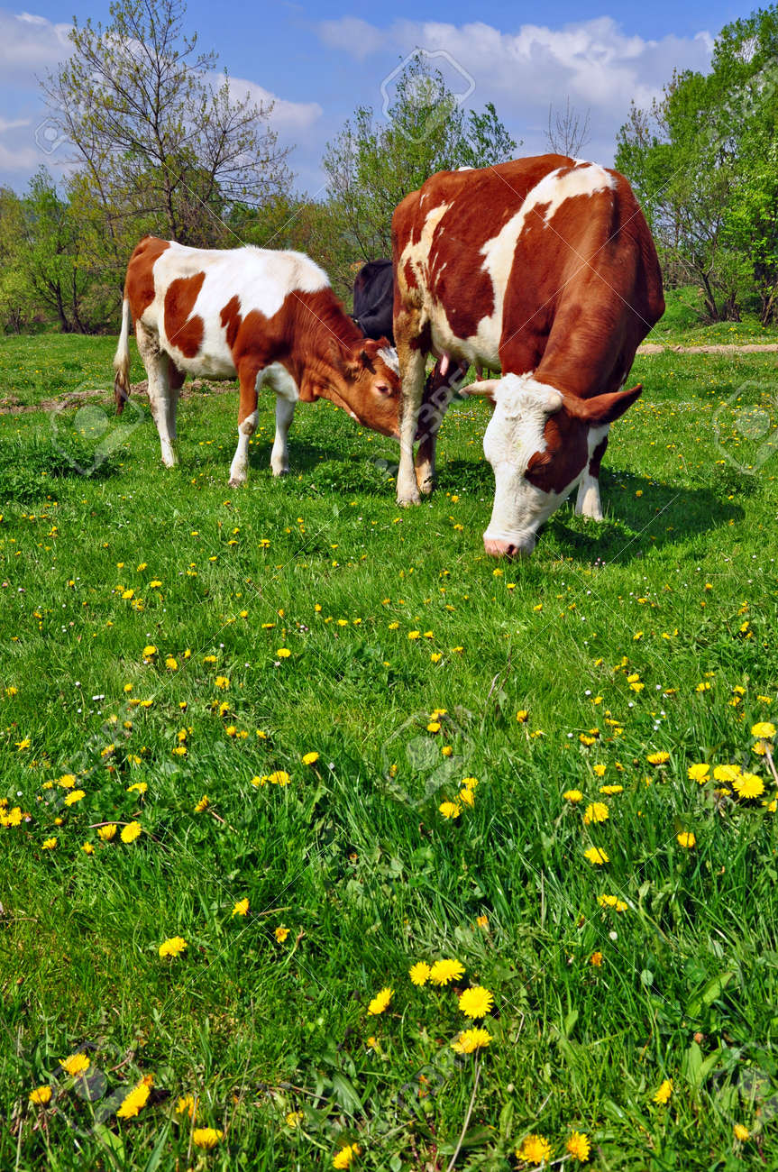 Cows on a summer pasture Stock Photo - 9684807