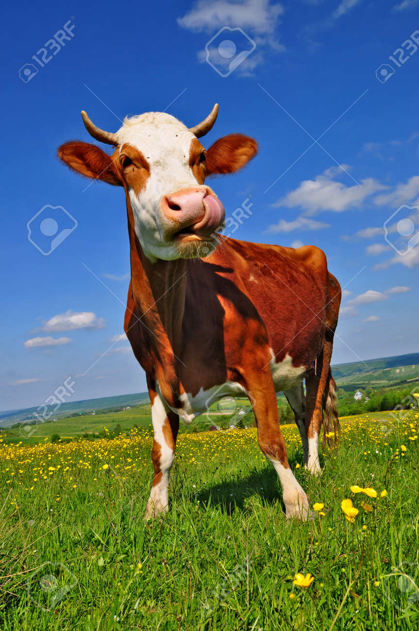 Cow on a summer pasture Stock Photo - 9684890