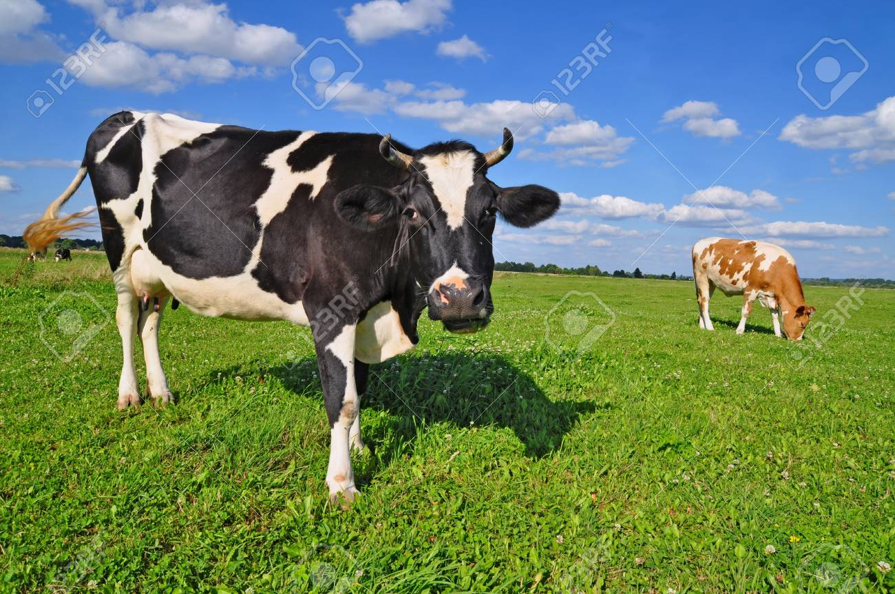 Cows on a summer pasture Stock Photo - 12113604