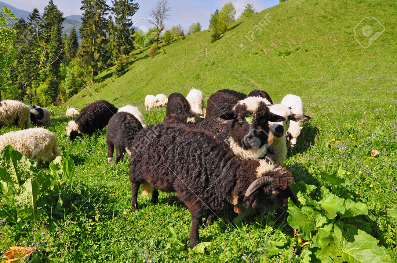 Sheep in a summer landscape Stock Photo - 13023520