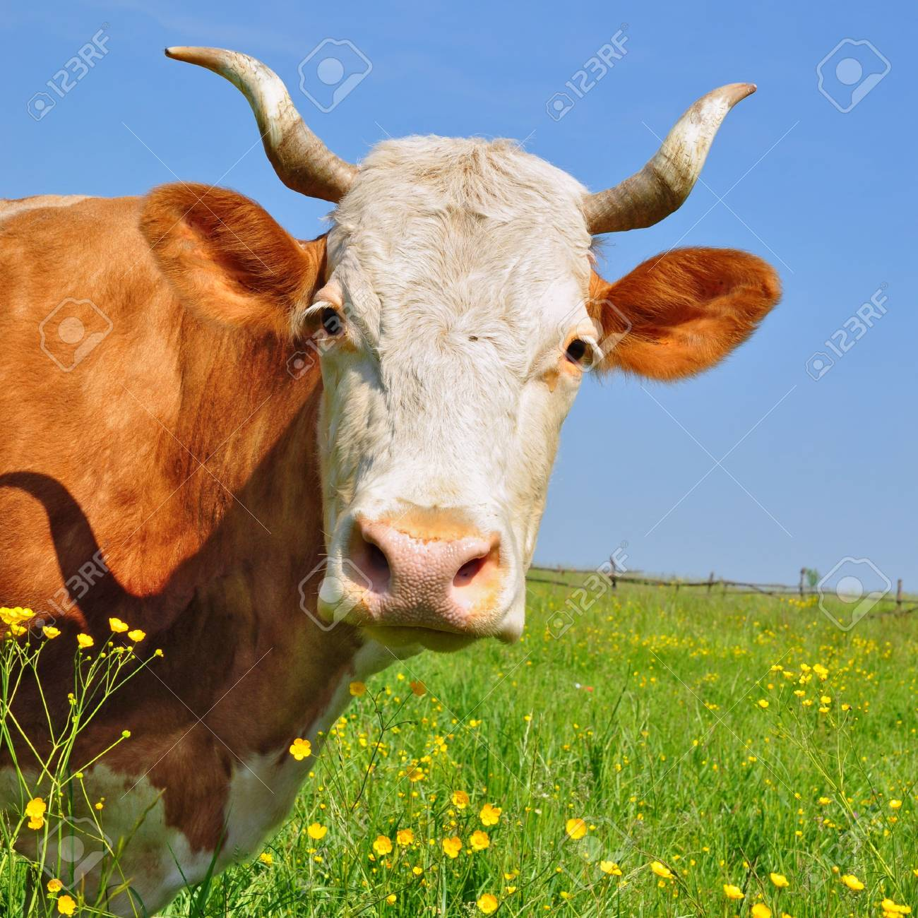 Head of a cow against a pasture Stock Photo - 13094316