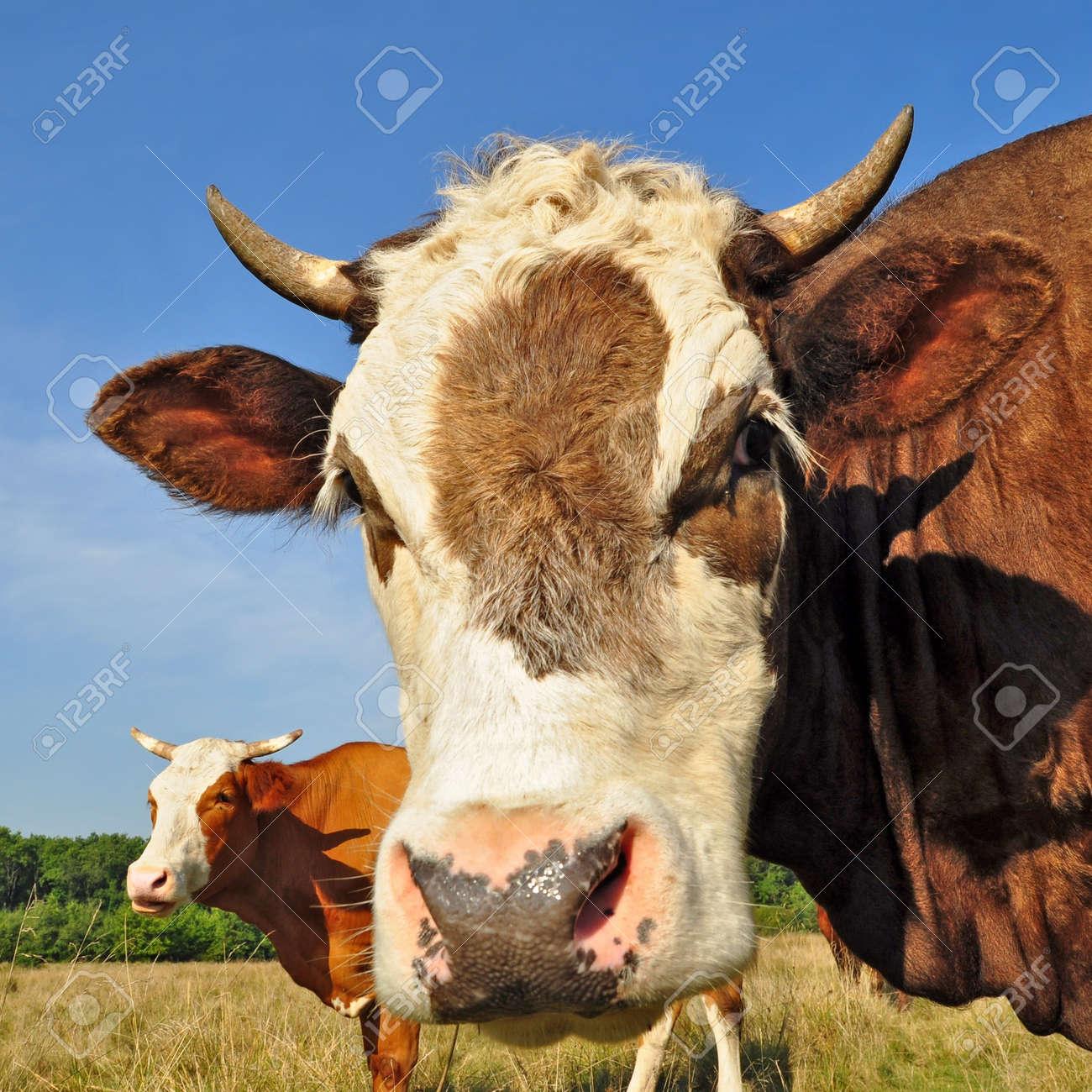 Head of the calf Stock Photo - 13317197