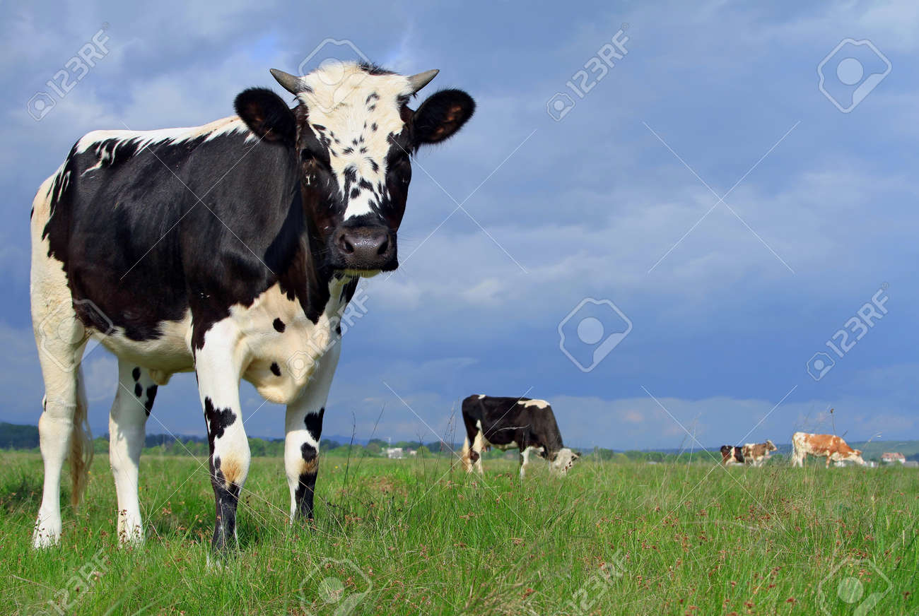 The calf on a summer pasture Stock Photo - 13536794