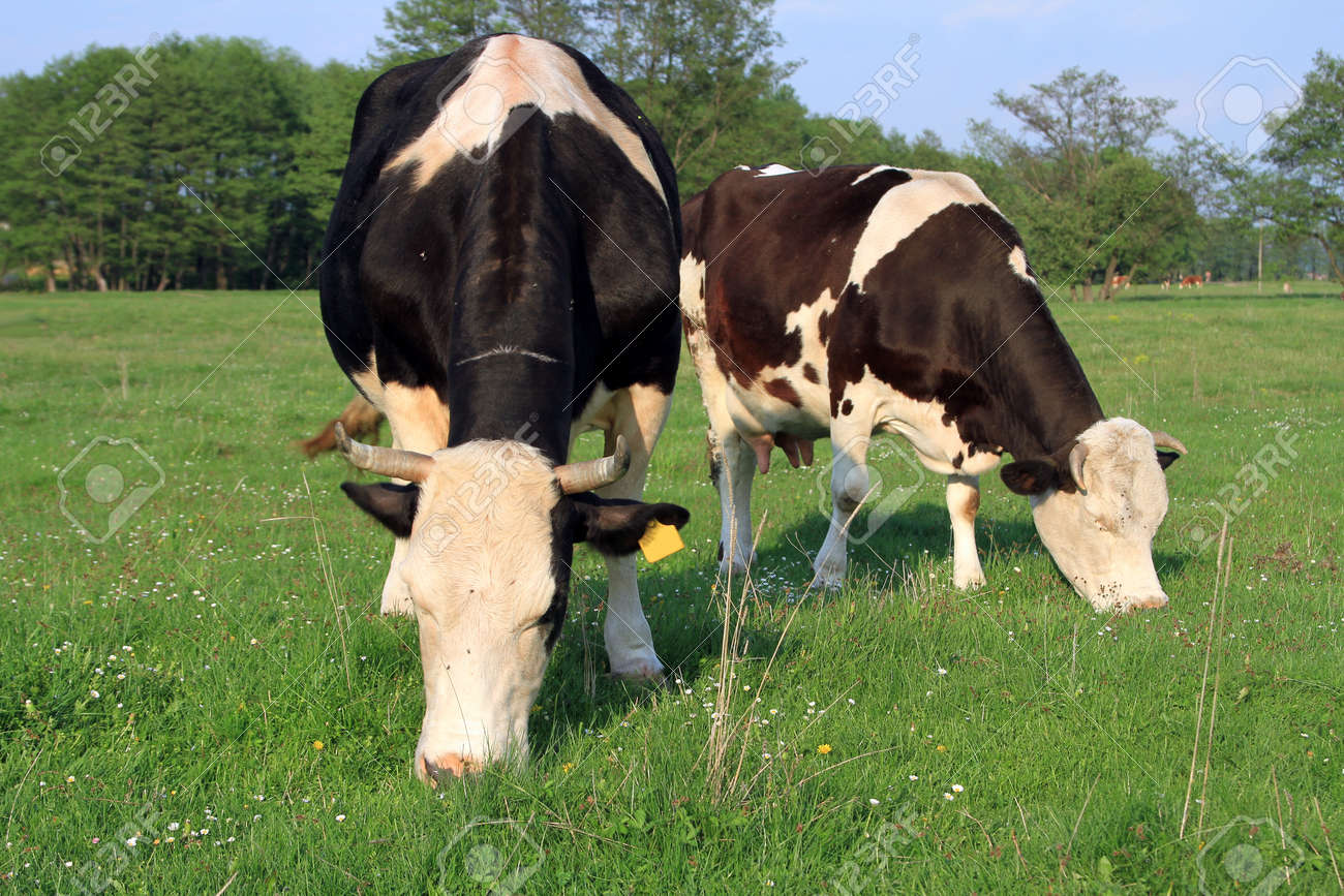 Cows on a summer pasture Stock Photo - 13617297