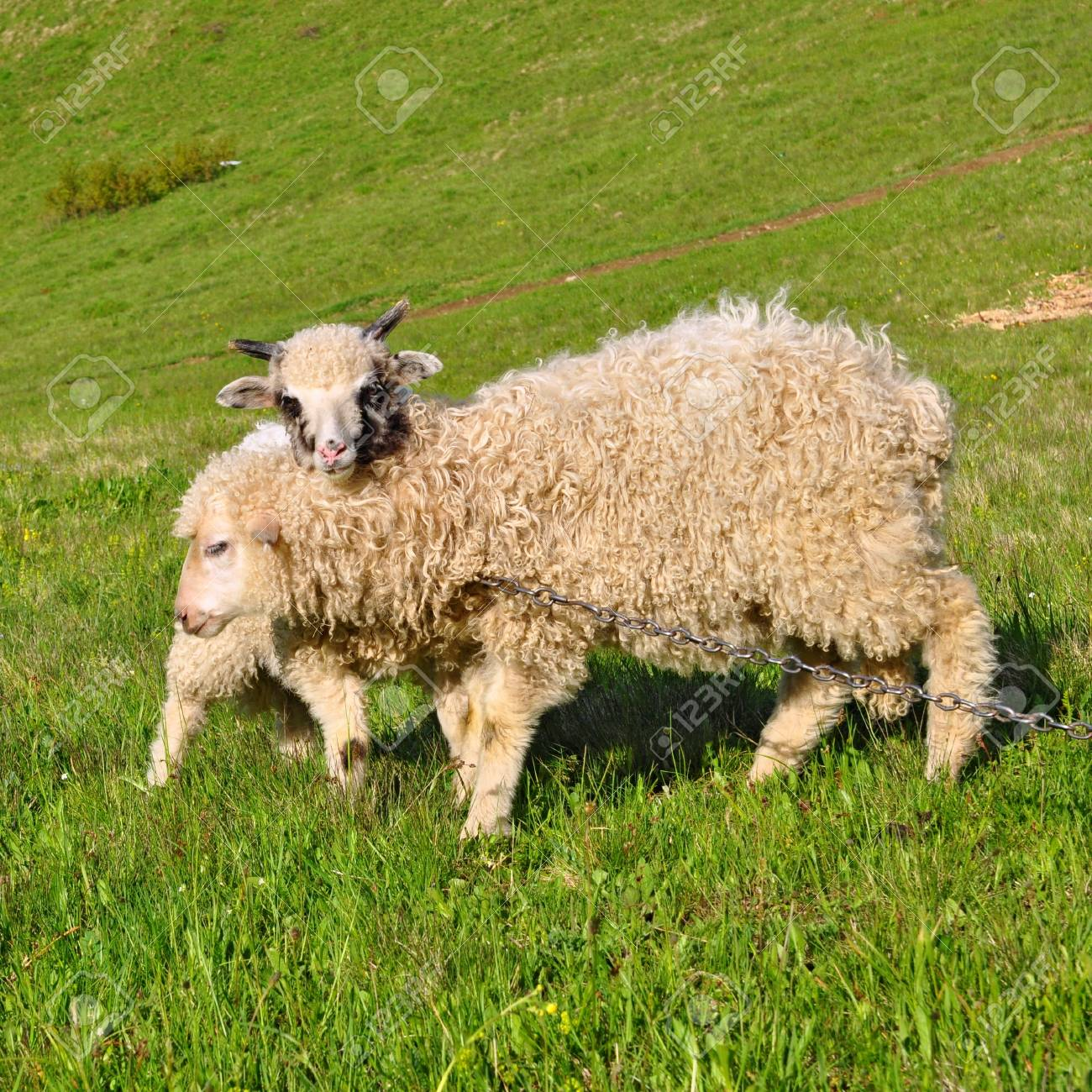 Lambs in a summer landscape Stock Photo - 14717823