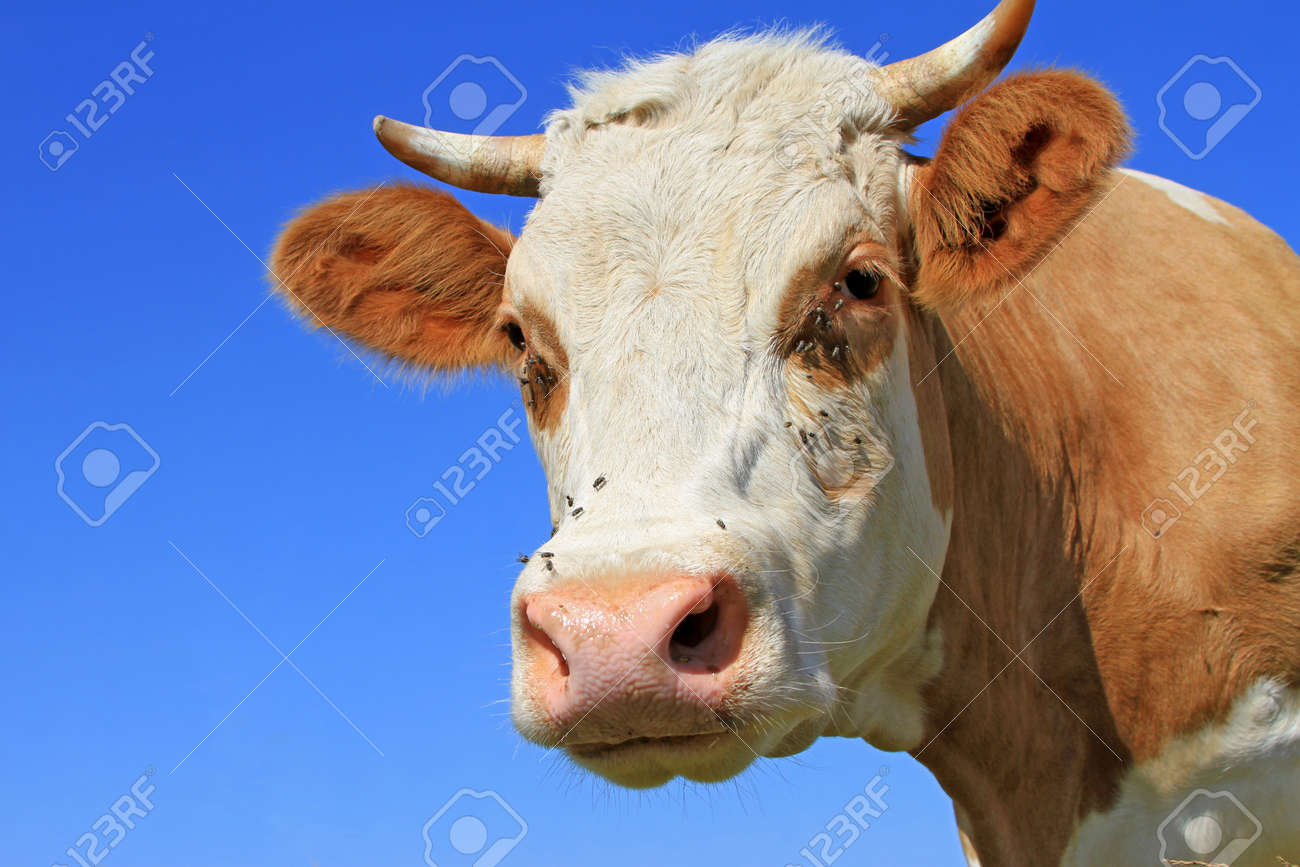 Head of a cow against the sky Stock Photo - 14808955
