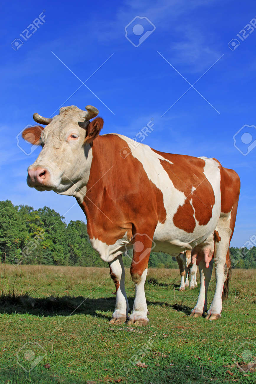 Cow on a summer pasture Stock Photo - 15230707