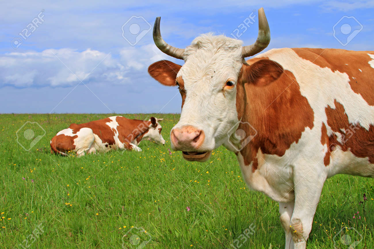 Cows on a summer pasture Stock Photo - 16157498