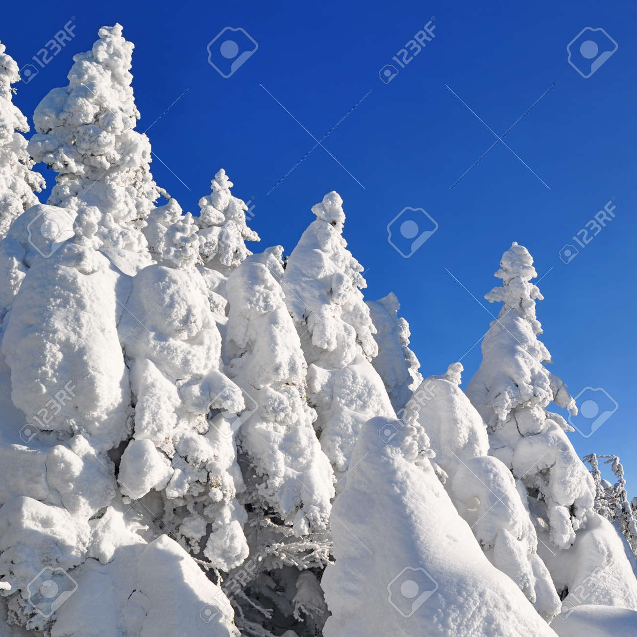 Firs  under snow Stock Photo - 16263641