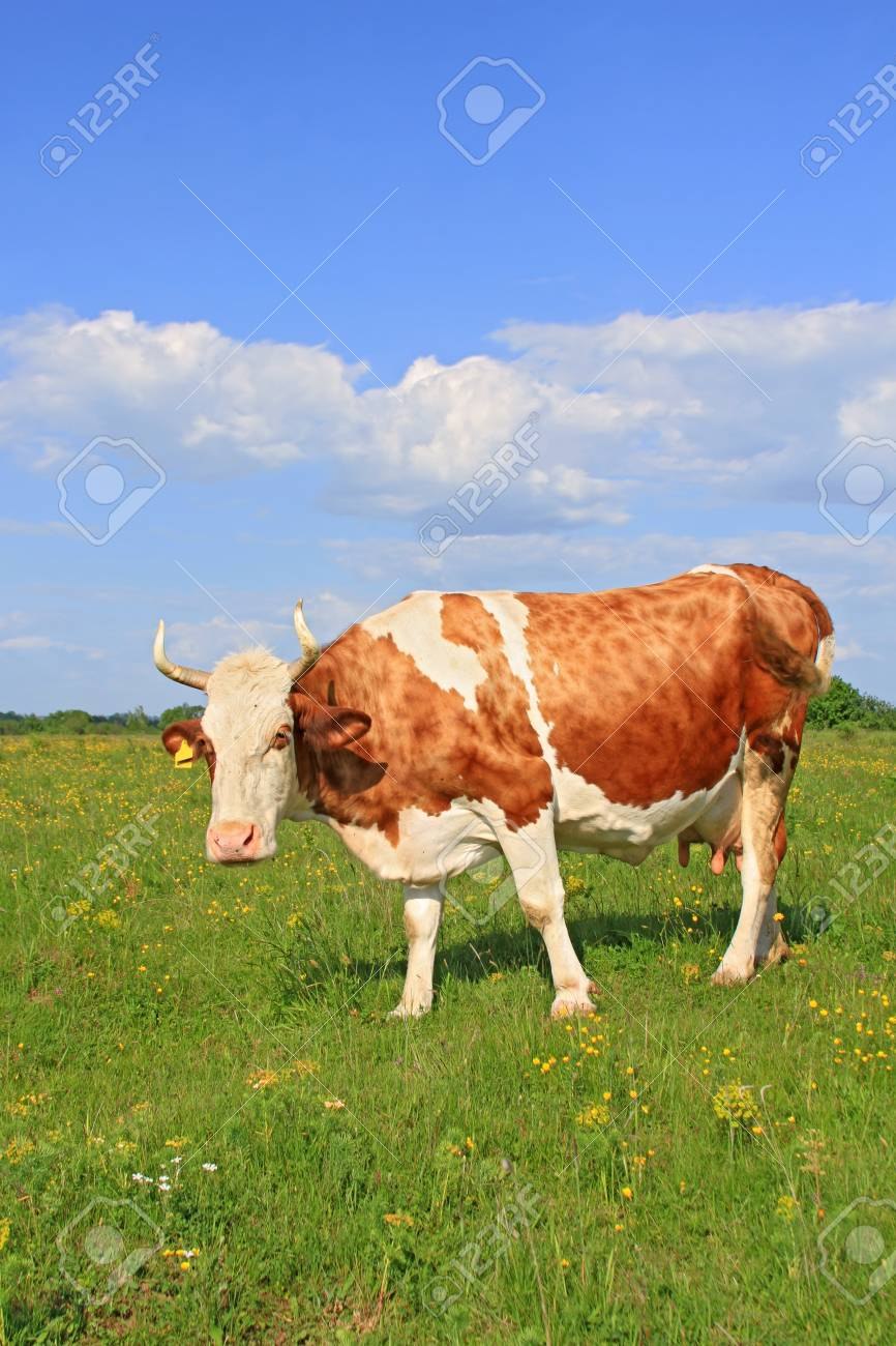 Cow on a summer pasture Stock Photo - 16755222