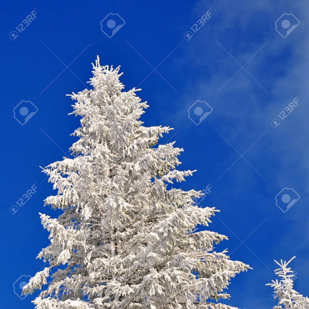 Fir under snow Stock Photo - 16821174