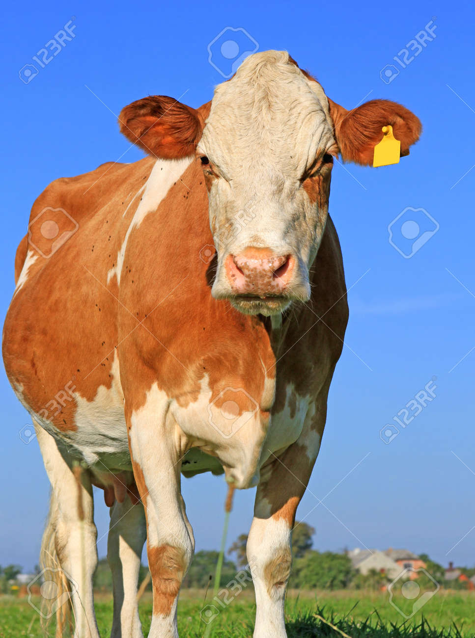 Cow on a summer pasture Stock Photo - 18153919