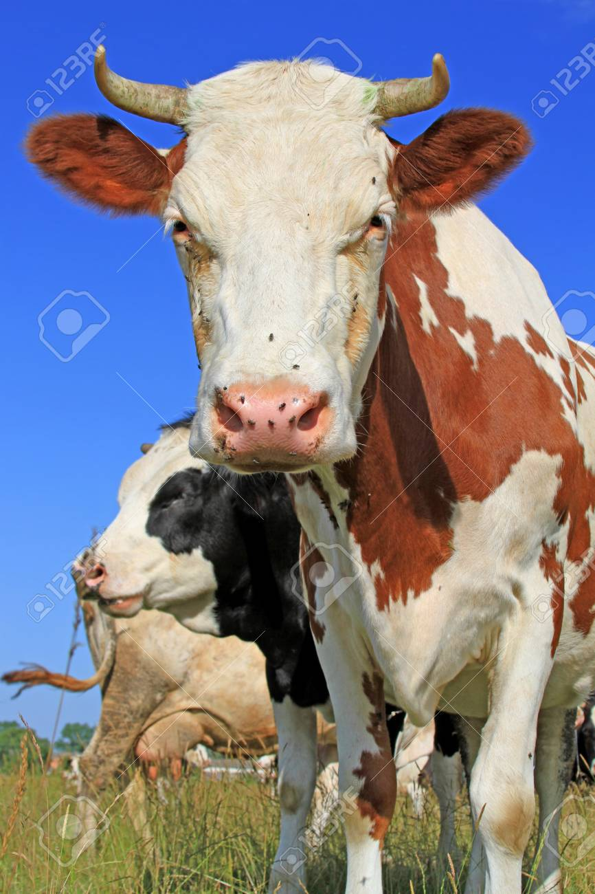 Cows on a summer pasture Stock Photo - 18287263