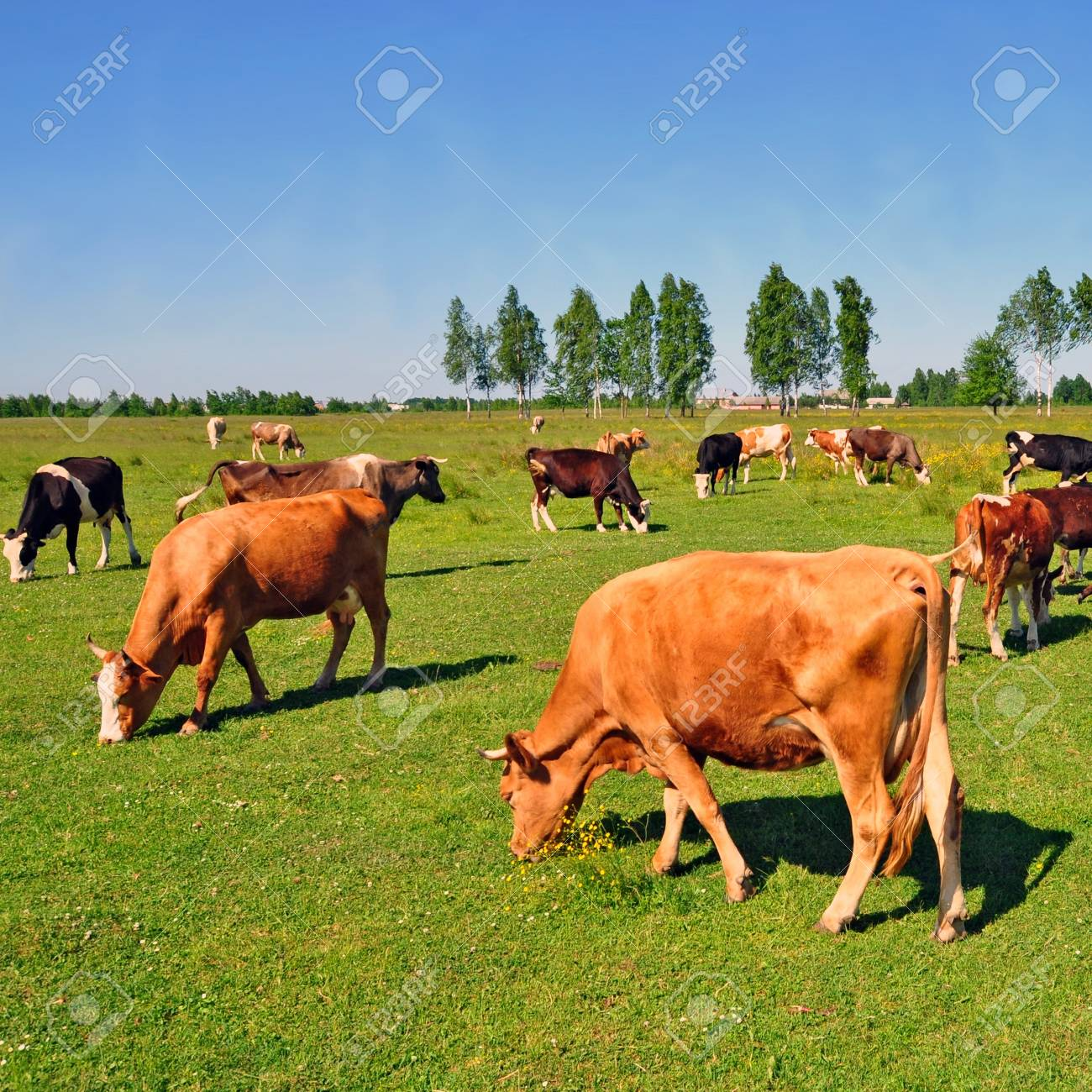 Cows on a summer pasture Stock Photo - 18437953